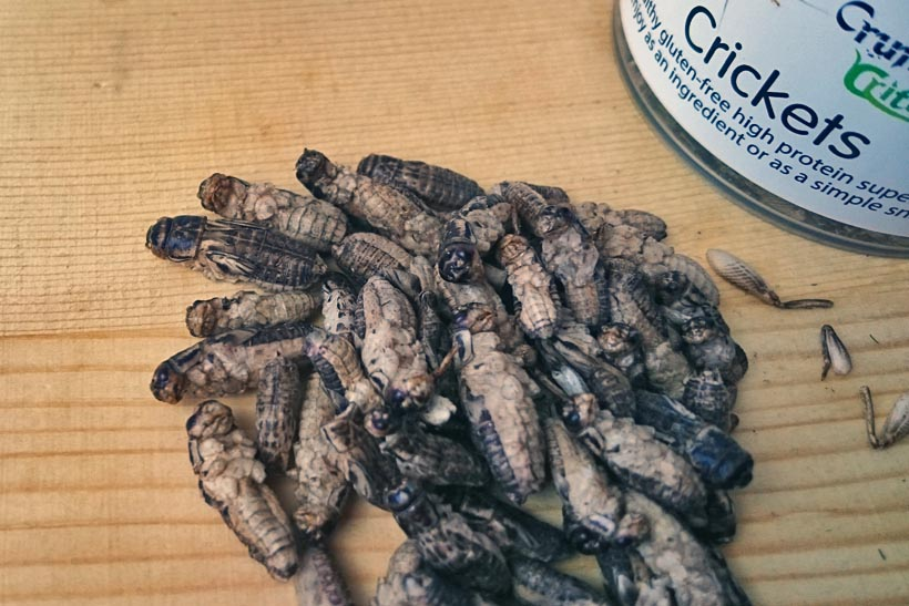 eating insects crickets