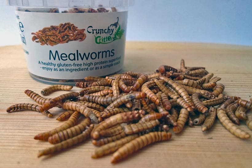 eating insects mealworms